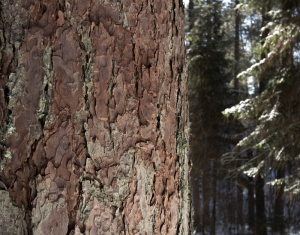 Lost40_treebark